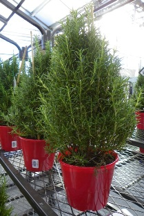 posts about live christmas tree nc state extension - Live Mini Christmas Tree