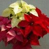 poinsettia-varieties