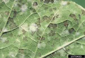 Cucurbit downy mildew , Bottom of leaf image by Gerald Holmes