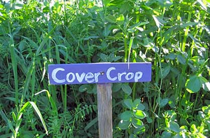 Building healthy soil in vegetable gardens cover crops - Cover crops for vegetable gardens ...