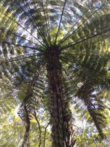 silver tree fern