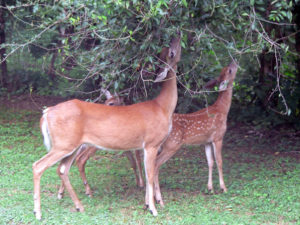 Deer grazing on shrubs