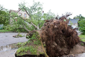 large uprooted tree
