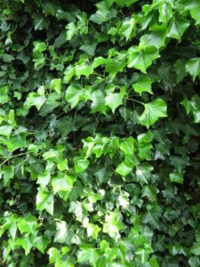 Image of Englich Ivy