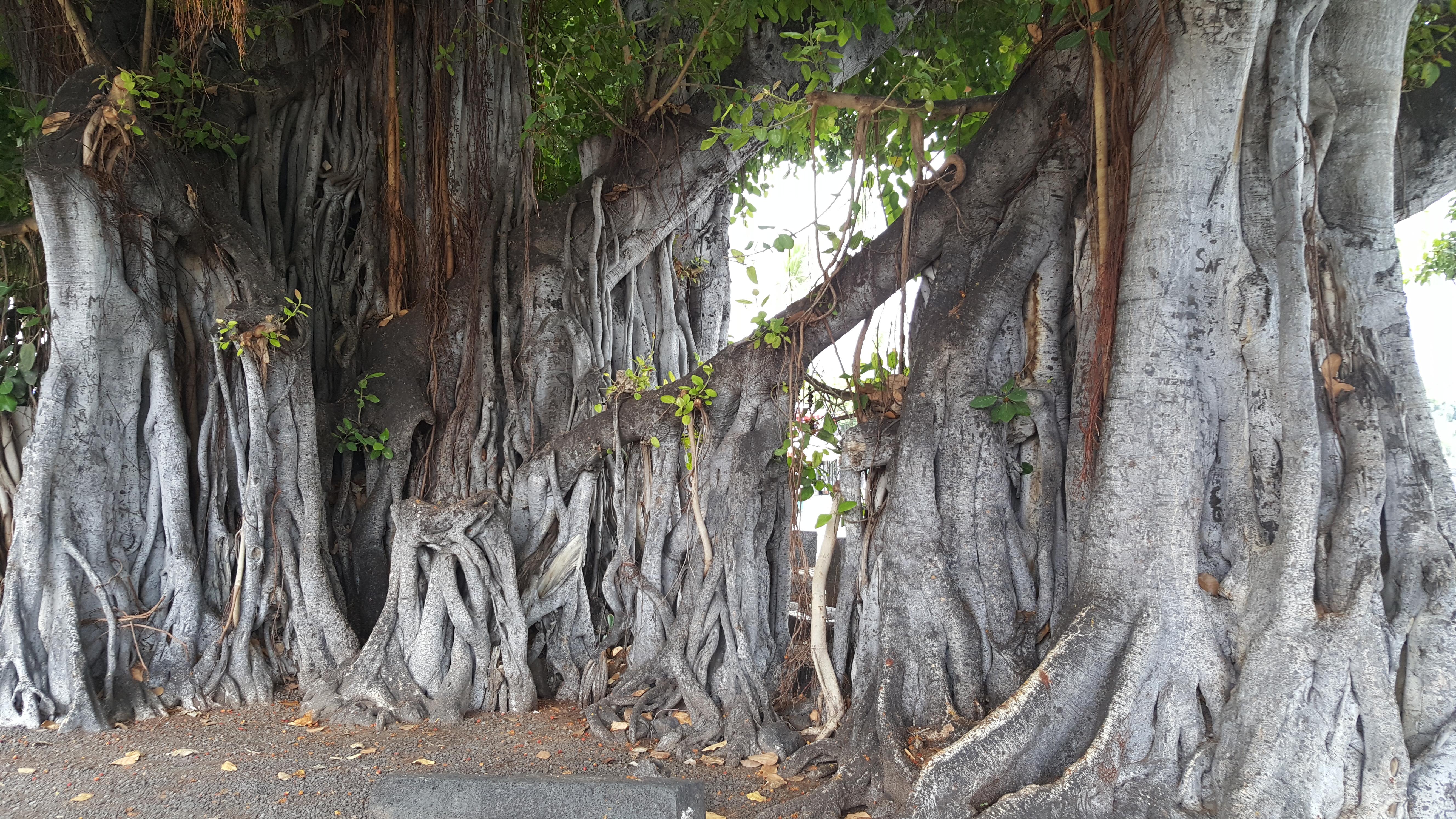 trees in Hawaii