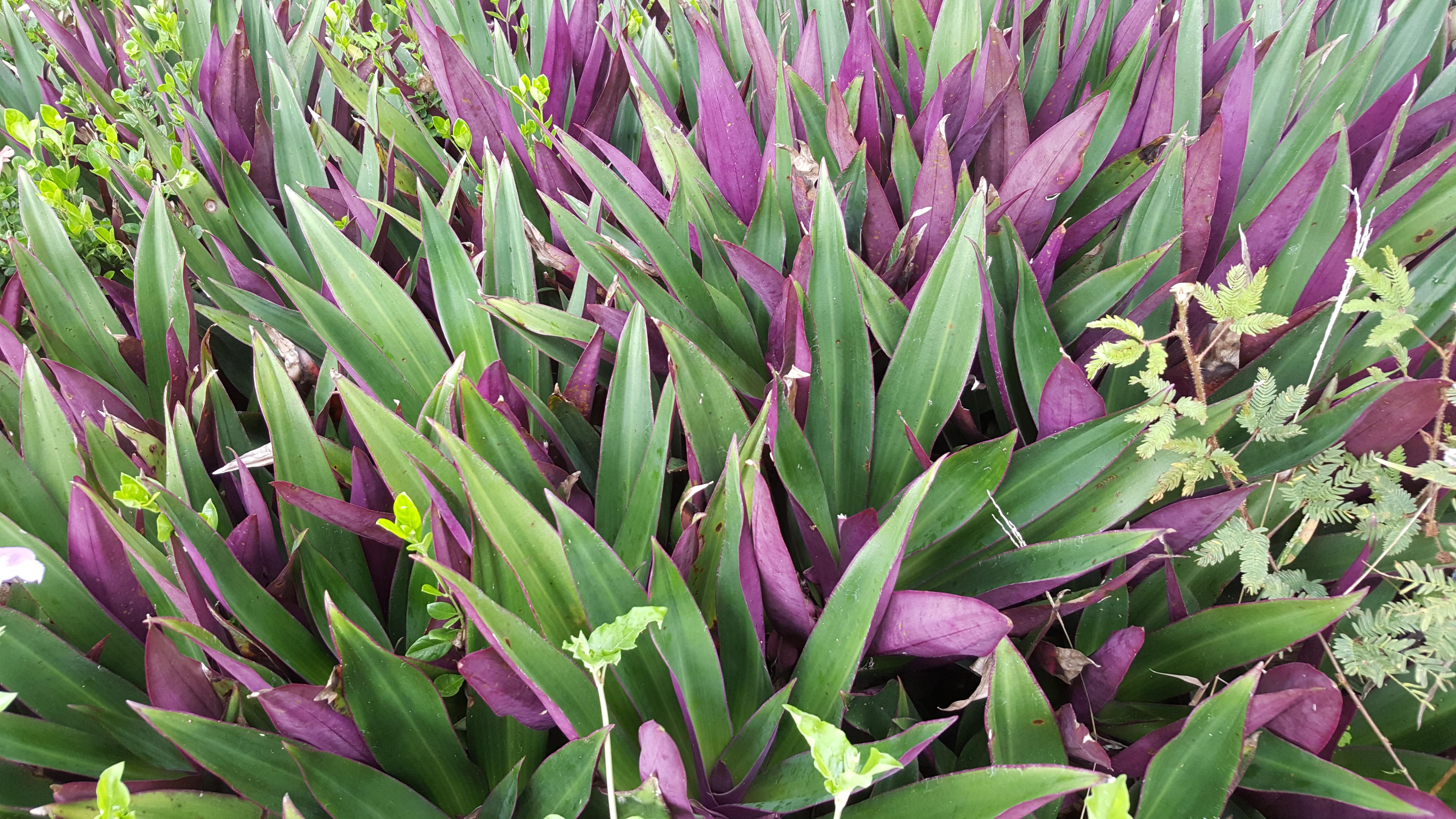Purple and green foliage in Hawaii