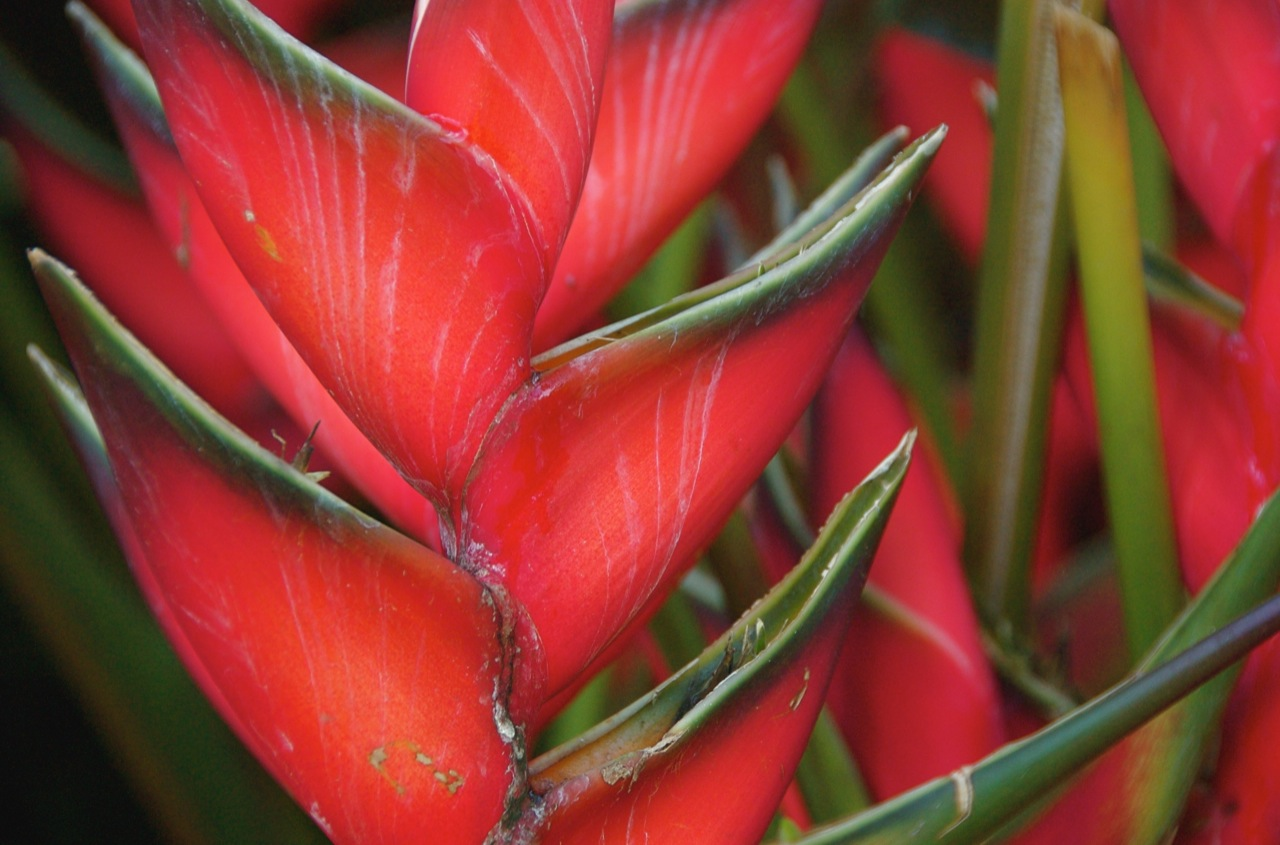 Image of heliconia rostrata