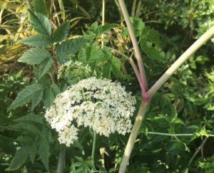 White flowers, s stem with magenta streaks and several compound leaves of the water hemlock plant