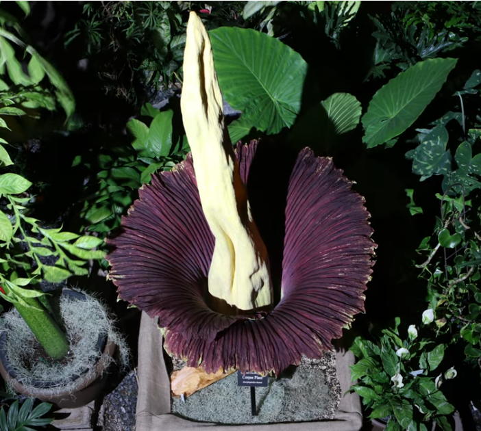 Corpse Flower Bloomed On August 1 2019 Nc State Extension