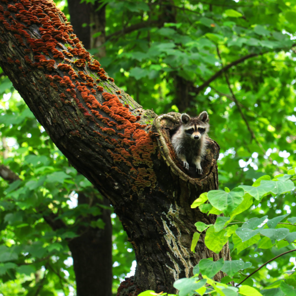 racoon in a tree