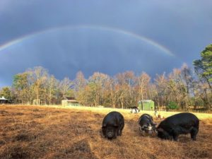 pigs in a field with a rainbow in the sky
